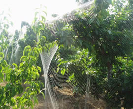 A white anti-bird net is used for protecting fruit trees at orchard