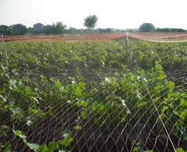 A orange anti-bird net covers grapes trees at orchard
