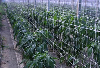Plant support net used vertically for plant growth